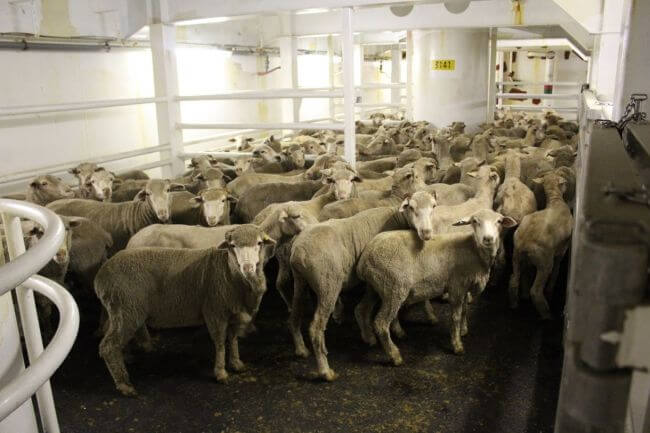 Sheep moratorium part of industry re-set